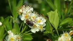 Beetle on the flowers of apple-tree Stock Footage