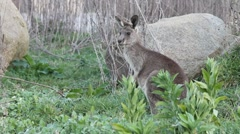 young kangaroo - stock footage