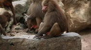 Stock Video Footage of Cute Hamadryas Baboon Monkey, Part of a Sacred Baboon Monkeys Harem
