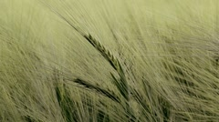 Close up of wheat swaying in the breeze Stock Footage
