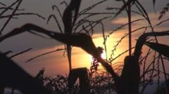 Beautiful sunset among corns - stock footage