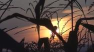 Beautiful sunset among corns Stock Footage