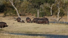 Hippopotamus, Sabie-Sand nature reserve, South Africa - stock footage