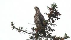 Juvenile Bald Eagle Scratch Stock Footage
