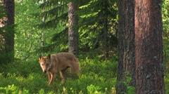Eurasian Wolf Stock Footage