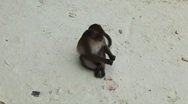 Macaque Monkeys on Monkey Beach on Phi Phi Islands, Phi Phi Don, Thailand Stock Footage