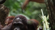 Orangutan Monkey, Looking, Jungle Trees, Palm Tree Stock Footage