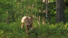 Eurasian Wolf - stock footage