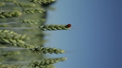 Barley with ladybirds in summer 7, vertical composition Stock Footage