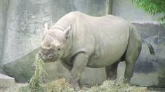 Rhinoceros Eating Stock Footage