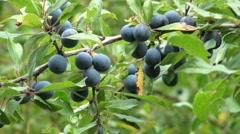 Sloe Berries on Green Leaf Branch Stock Footage