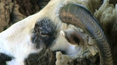 Jacob Sheep Close-up - stock footage
