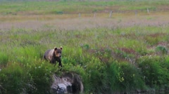 Brown Bear Calls To Brother - stock footage