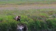 Stock Video Footage of Brown Bear Calls To Brother