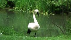 Trumpeter Swan Stock Footage