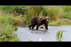 Kodiak Brown Bear Fishing 2 Stock Footage
