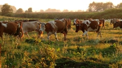 Cows are going for the evening milking. - stock footage
