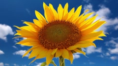 flowering sunflower on a background cloudy sky - stock footage