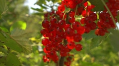 Ripe red currant on a bush in the garden Stock Footage
