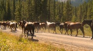 Stock Video Footage of horse roundup in mountains, along dirt road, horse drive