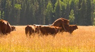Agriculture, cattle, young bull mount cow, mating season Stock Footage