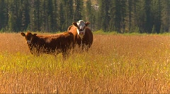 cattle, cow calves in field wavy wheat, cow comes into frame - stock footage