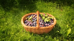 Plums in a basket Stock Footage