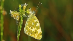 Butterfly and morning dew Stock Footage