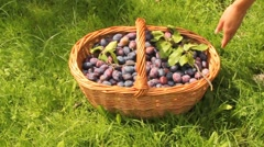 Plums spilled from the basket Stock Footage