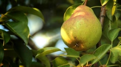 Maturing pear on a tree Stock Footage