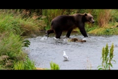 Kodiak Brown Bear Fishing 4 Stock Footage