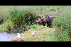 Kodiak Brown Bear Fishing 5 Stock Footage