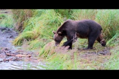 Kodiak Brown Bear Fishing 7 Stock Footage