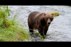 Kodiak Brown Bear Fishing 6 Stock Footage