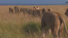 Pride of Lions Sequence 2 of 5 - stock footage