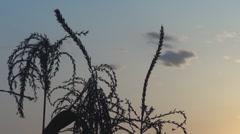 Stock Video Footage of Beautiful sunset among corns