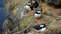 Stock Video Footage of Puffin