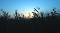 Beautiful sunset among corns Stock Footage