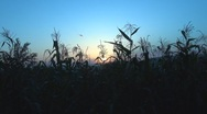 Stock Video Footage of Beautiful sunset among corns
