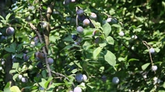 Plums yield Stock Footage