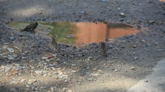 Three sparrows wash after rain - stock footage