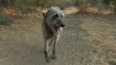 Dog Walking on Trail Stock Footage