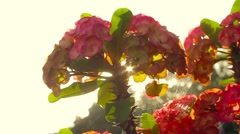 Crown of thorns plant - stock footage