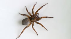 Trochosa terricola spider Stock Footage