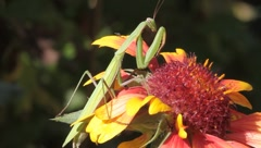 Mantis religiosa looking for food on a splendid flower - stock footage