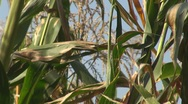 Stock Video Footage of Corn field