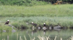 Bald eagles ,eating salmon Stock Footage