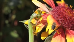 Mantis religiosa looking for food on a splendid flower Stock Footage