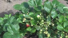 Fresh Strawberries Stock Footage