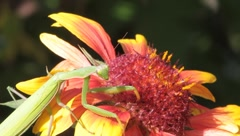 Mantis religiosa eating ants on a splendid flower Stock Footage